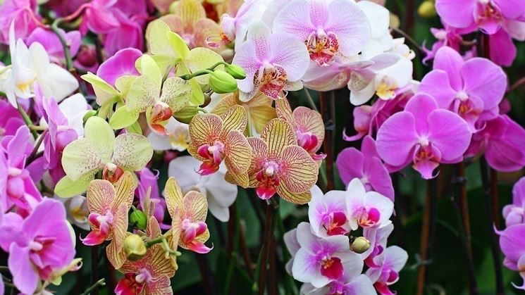 Caratteristiche delle orchidee