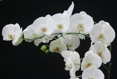 Domanda: Orchidee