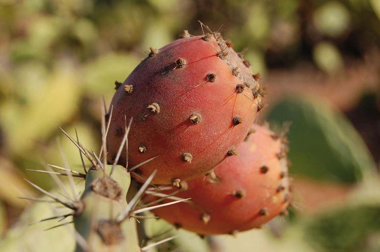 Fico d'India frutto