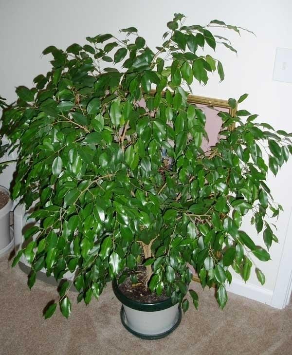 Piante Da Appartamento Ficus.Ficus Retusa Piante Appartamento Ficus Retusa