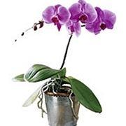 Ibridare le orchidee