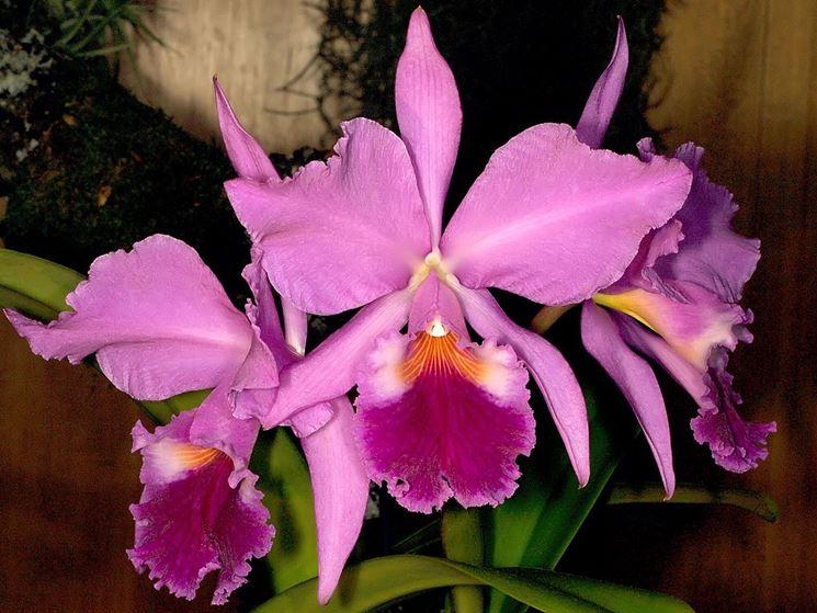 L'orchidea cattleya: concimazione