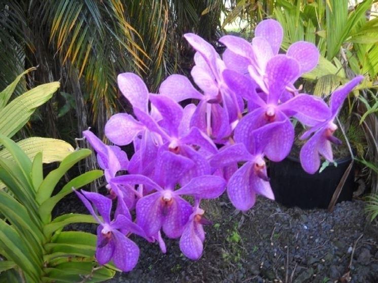 Orchidee selvatiche più conosciute