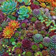 Diffusione delle piante grasse