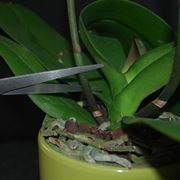Le origini dell'orchidea