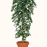 Risposta : ficus elastica foglie marroni