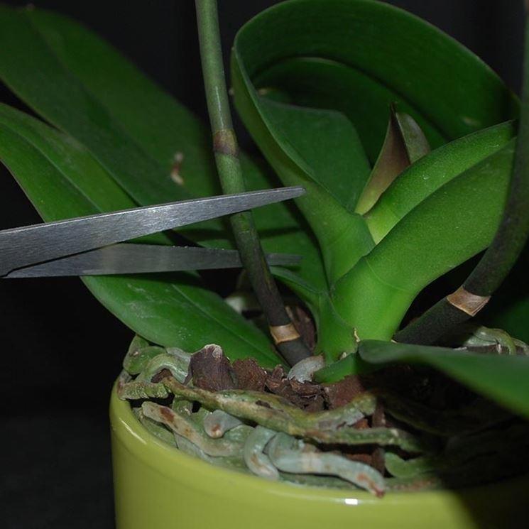 Genealogia dell'orchidea