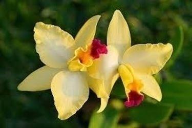 Risposta : orchidea