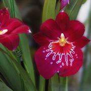 Scelta dell'orchidea da vaso