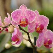 Significato fiori orchidea