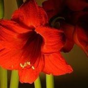 bouquet di amarilli rosso  fiore singolo