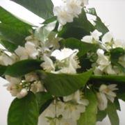 bouquet di amarillis bianchi