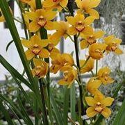 bouquet di cymbidium giallo