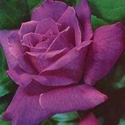 rose viola-1