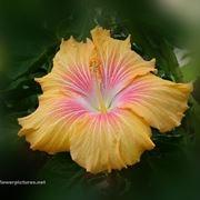 significato fiori ciclamini viola