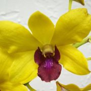 Significato fiori dendrobium gialli