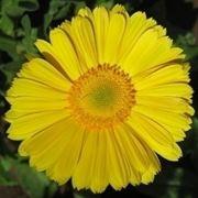 significato fiori gerbere gialle