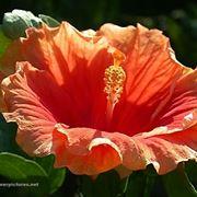 significato fiori gerbere viola
