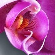 significato fiori orchidee viola