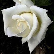 significato fiori rose bianche