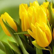Significato fiori tulipani gialli
