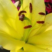 significato lilium gialle