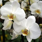 significato orchidee bianche