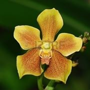 significato orchidee gialle