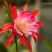 significato tulipani viola