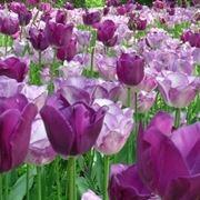 tulipani viola-1