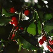piante per il natale-6
