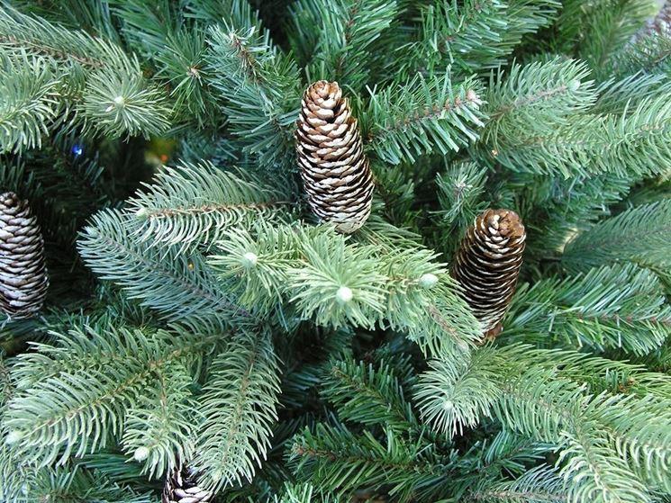 Abete del colorado alberi abete del colorado for Abete da giardino