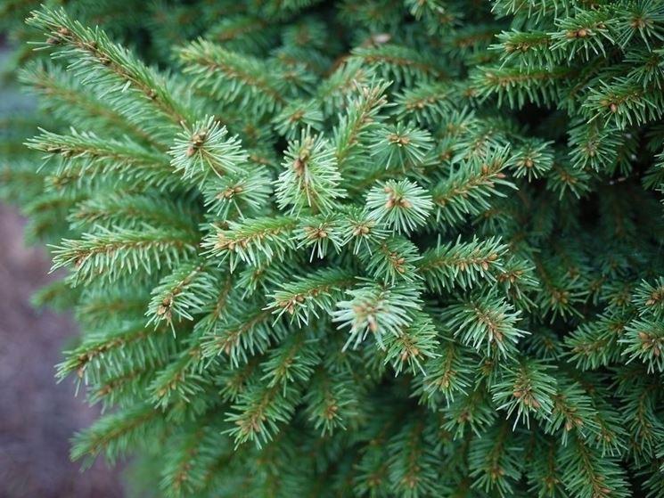 Leggenda dell 39 abete alberi leggenda dell 39 abete for Abete da giardino