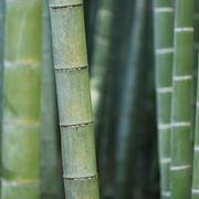 canna bambù