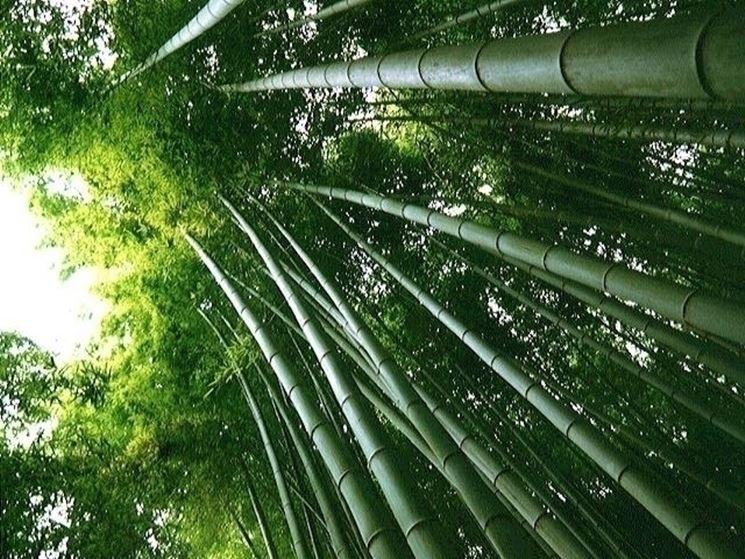 Bambù canne