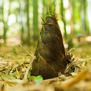 Bambù germoglio