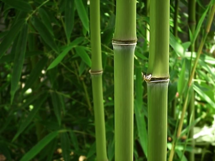 Bamboo nero