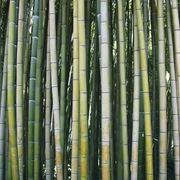 Bambu-28