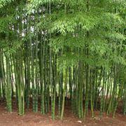 Coltivare i bambù