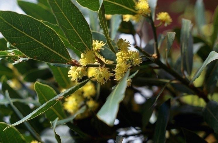 Come far fiorire il alloro
