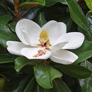 Concimazione magnolia
