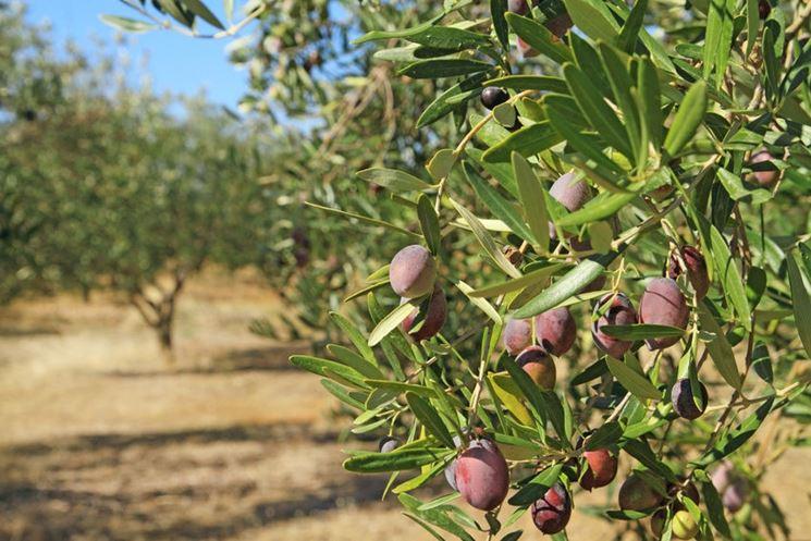 ulivo frutto