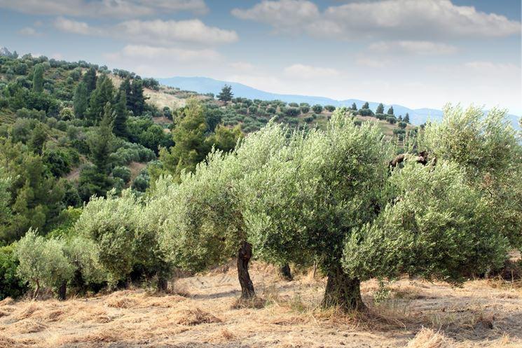 ulivi secolari piantagioni
