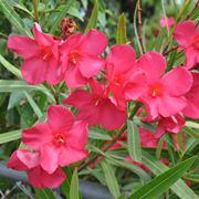Domanda : I fiori dell'oleandro