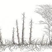 bambù rizomi
