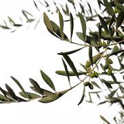 ramoscello ulivo