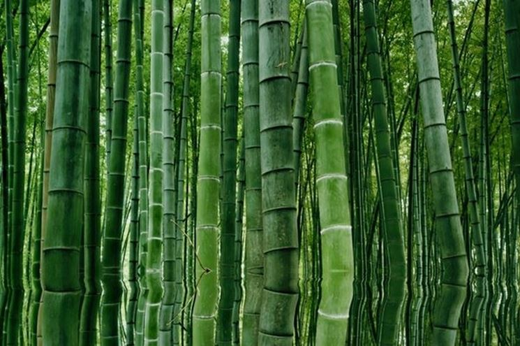 Il bambù sacro