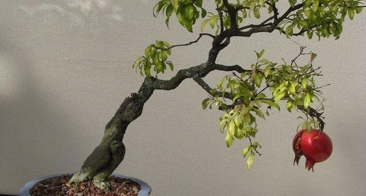 Il bonsai melograno: fiori rossi e rami rigidi