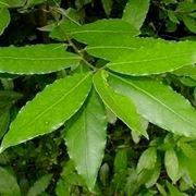 La pianta dell'alloro: proprietà e benefici