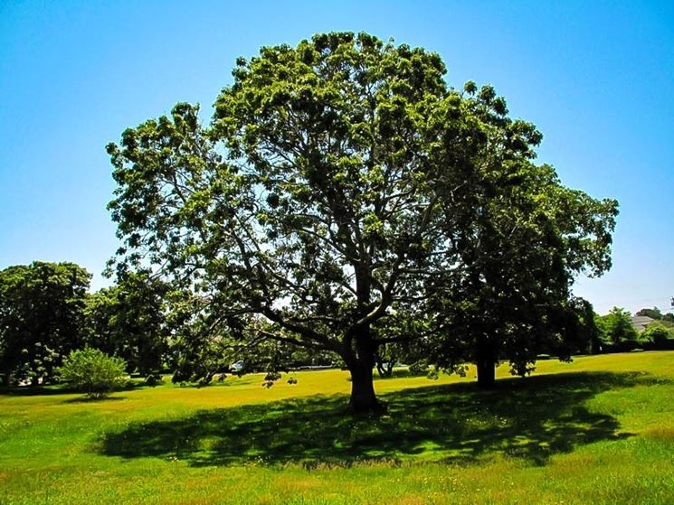 La quercia nella stagione invernale